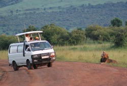 A large male lion lays on the side of the road yawning as the Wilderness Inquiry safari van stops to get a closer look.