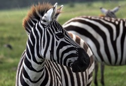 A zebra perks its ears and scans the horizon for predators.
