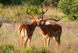 Two male impala, with very large horns, rub noses