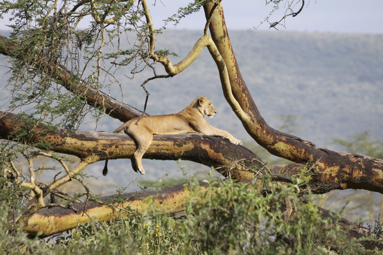 A lioness lounges on the branch of a large tree.