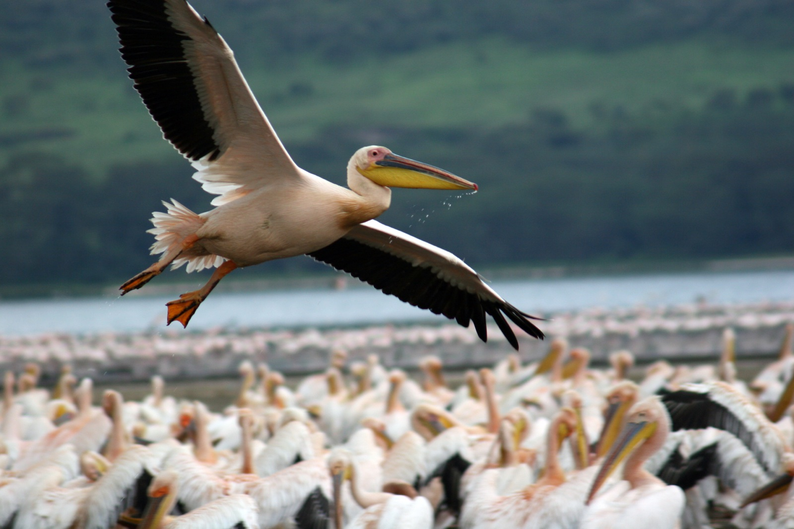 A pelican flies over a group of hundreds of pelicans as it lands on a lake at Nakuru National Park.