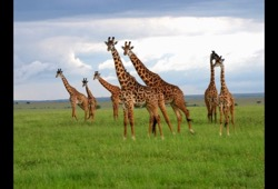 A group of seven giraffe roam through the tall, green grass of Southern Kenya on a cloudy day.
