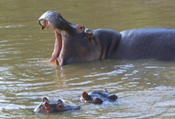Three hippos bathe in the Mara River in Kenya; one opens its mouth wide.