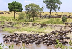 A large group of Wildebeast cross the Mara River, surrounded by long grass and trees.