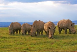 Five rhinos graze on the green grass in the Great Rift Valley of Kenya.