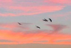 5 sandhill cranes fly into the pink orange and blue sunset