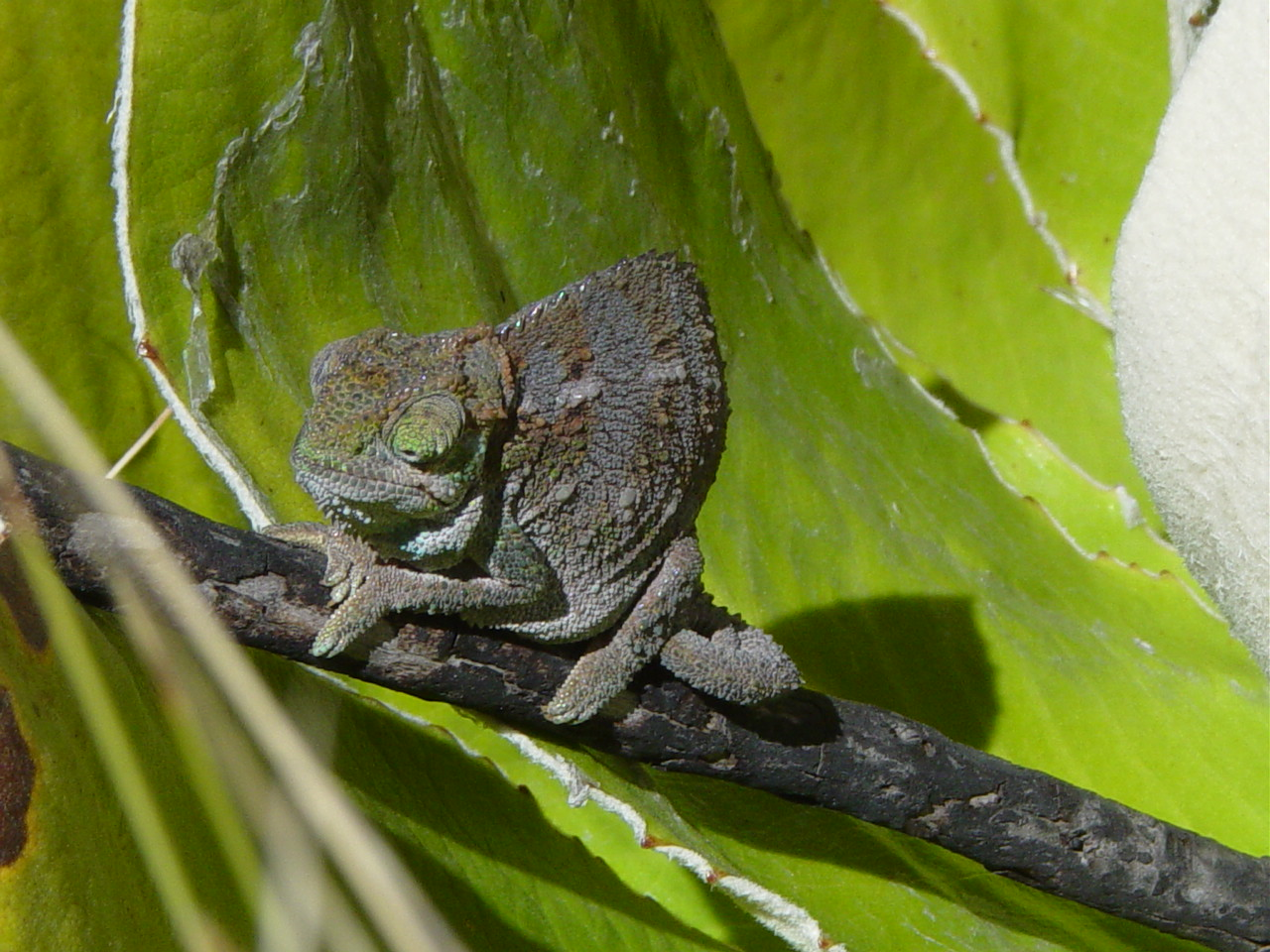 A small green chameleon hides amongst some large green leaves.