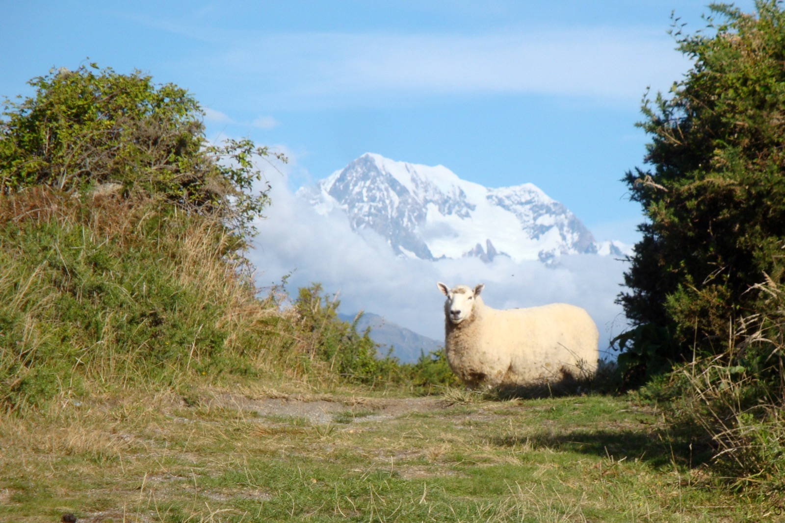 It's very common to cross paths with sheep in New Zealand.