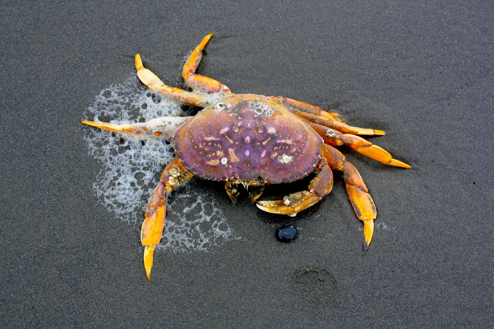 A large, purple, and orange crab lays on the sand during a low tide.