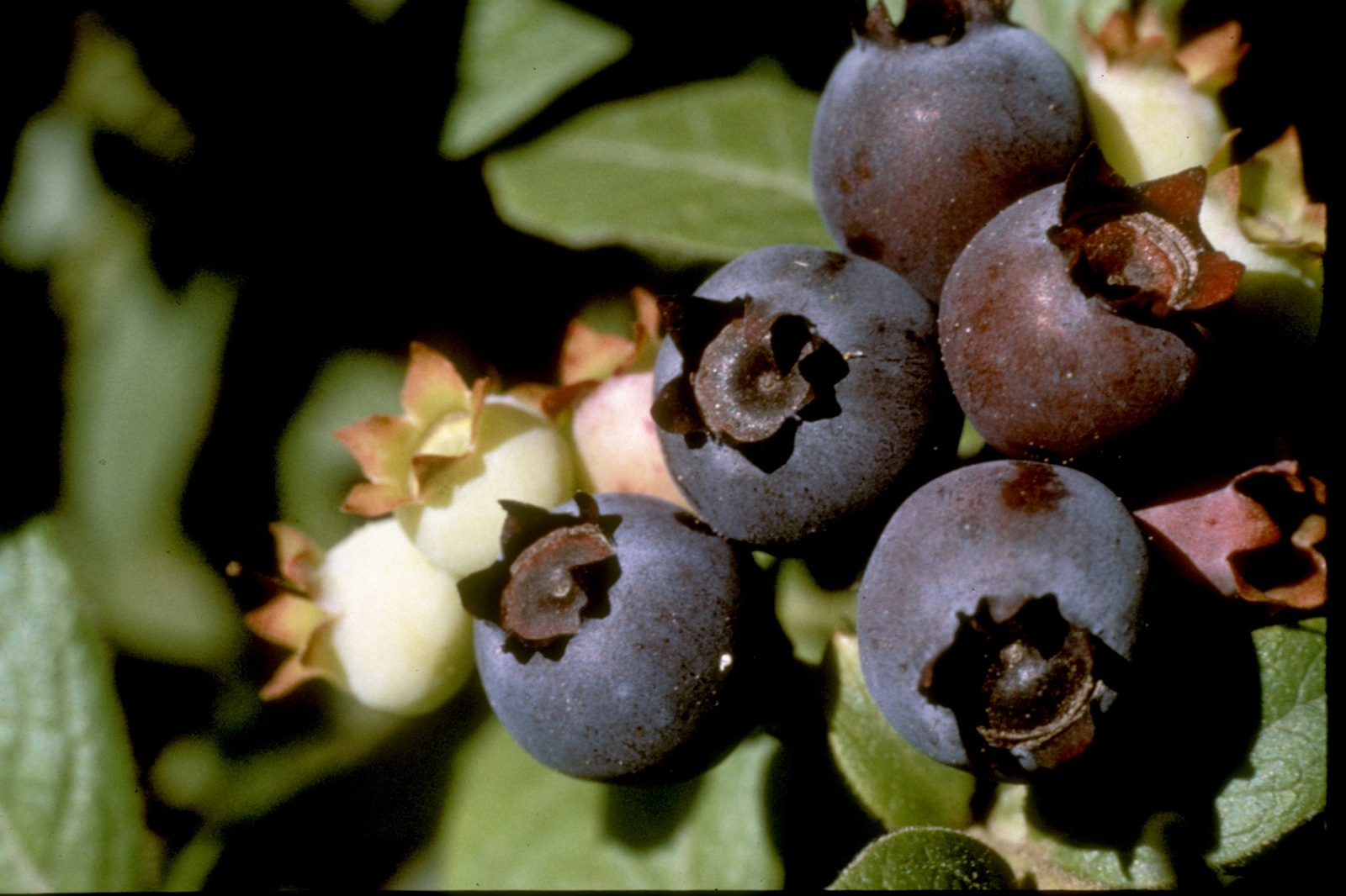 Close-up of wild blueberries growing on the banks of the Gamble River.