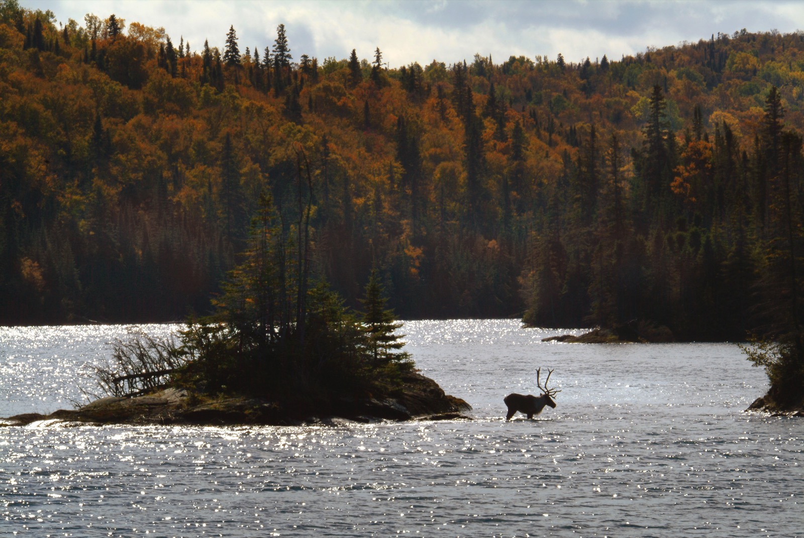 A caribou wades off of an island in open water along the Slate Islands on Lake Superior in the fall.
