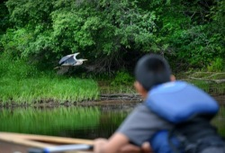 A boy watches a great blue heron fly low along the bank of the river.
