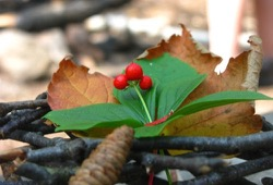 A sprig on wintergreen on the Superior Hiking Trail.