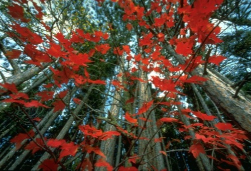 Red maple leaves stand out against the trunks of tall pine trees on the Superior Hiking Trail.