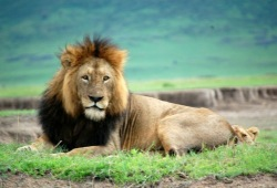 Male lion laying on the ground in Ngorongoro Crater in Tanzania.
