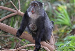 A mother blue monkey carries her baby while moving across tree branches in a jungle.
