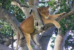 A lioness sleeps in a tree.