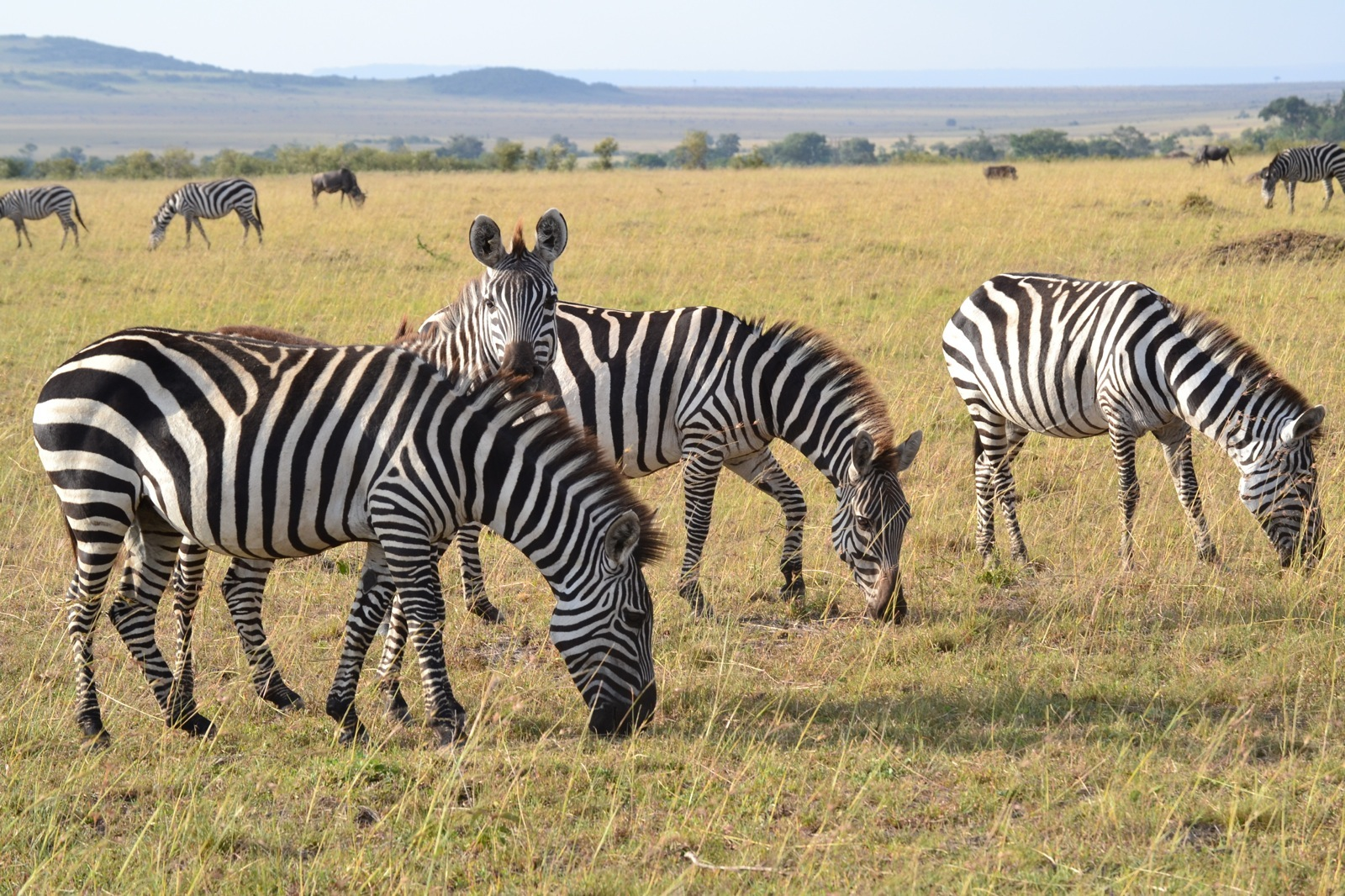 Four zebras graze on the light green grasses of the Ugandan savannah.
