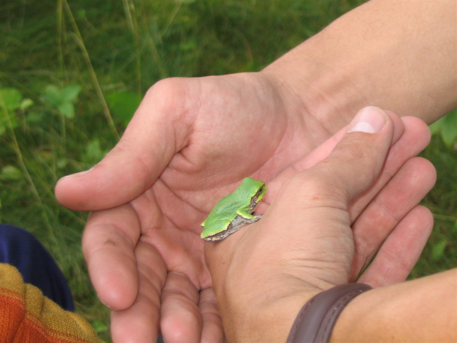 A close-up of two hands holding a small, lime green tree frog.