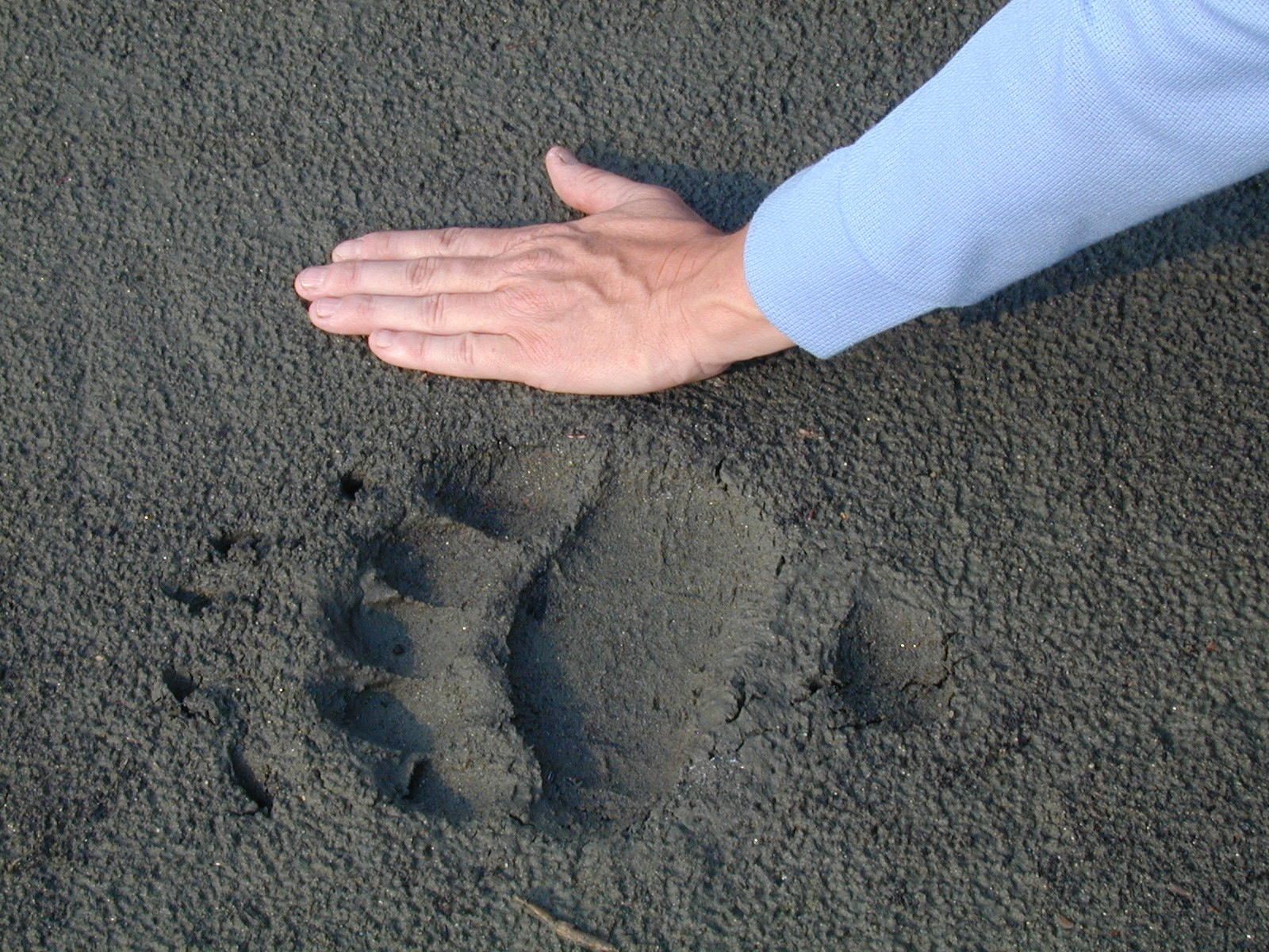 A participant compares their hand to a grizzly bear track on a beach of the Big Salmon River.